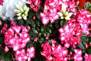 Cles_fiori
